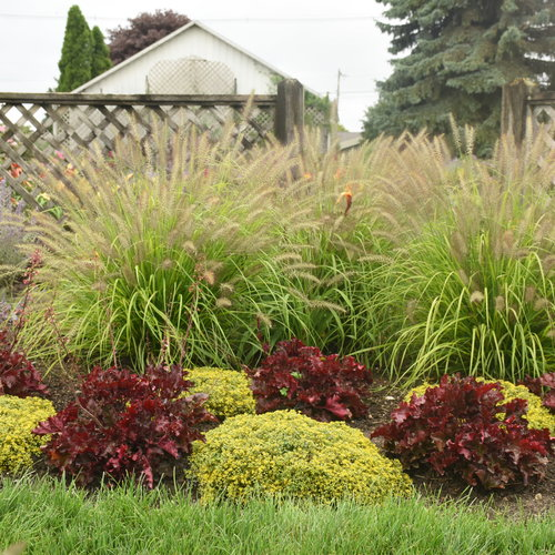 Prairie Winds® 'Lemon Squeeze' - Fountain Grass - Pennisetum alopecuroides