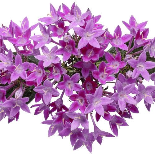 pentas_sunstar_lavender_02.jpg