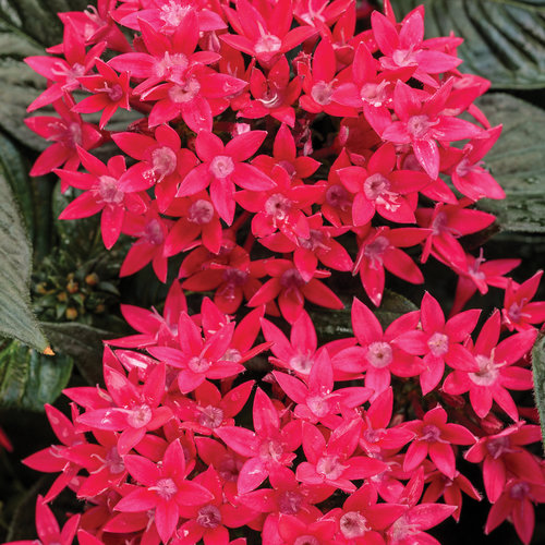 Sunstar Red Egyptian Star Flower Pentas Lanceolata Proven Winners