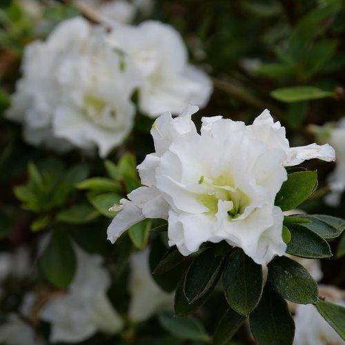 perfecto-mundo-double-white-rhododendron-2.jpg