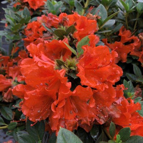 Perfecto Mundo® Orange - Reblooming Azalea - Rhododendron x