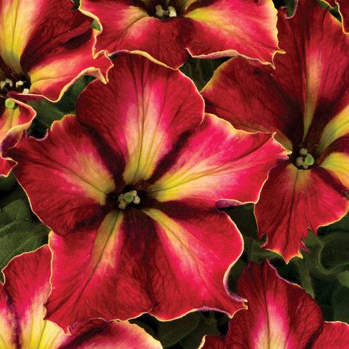 Crazytunia® Mandeville - Petunia hybrid