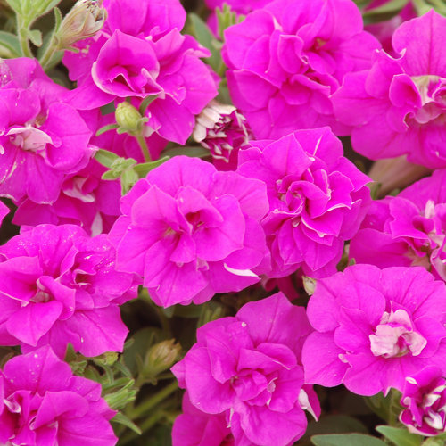 Surfinia® Summer Double™ Rose - Petunia hybrid