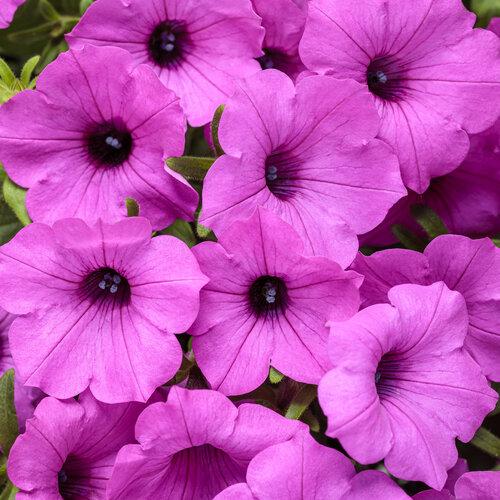 Supertunia Vista® Jazzberry™ - Petunia hybrid