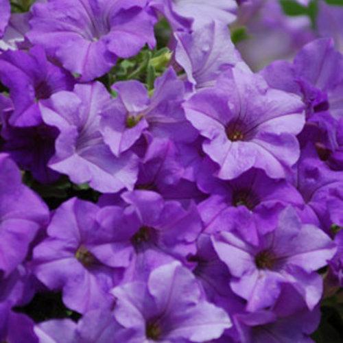 Surfinia® Heavenly Blue - Petunia hybrid
