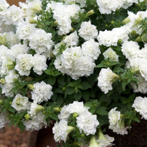 Surfinia® Summer Double™ White - Petunia hybrid