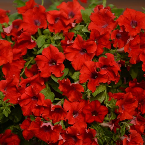 Surfinia® Trailing Red - Petunia hybrid