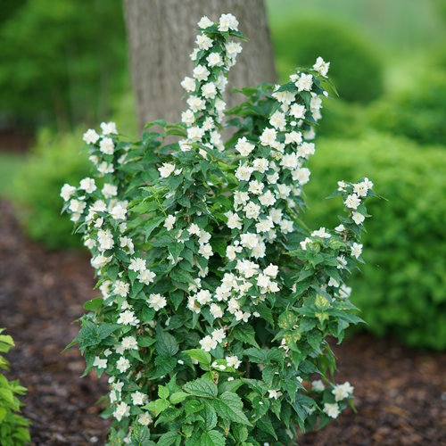 philadelphus_illuminati_tiny_tower_2.jpg