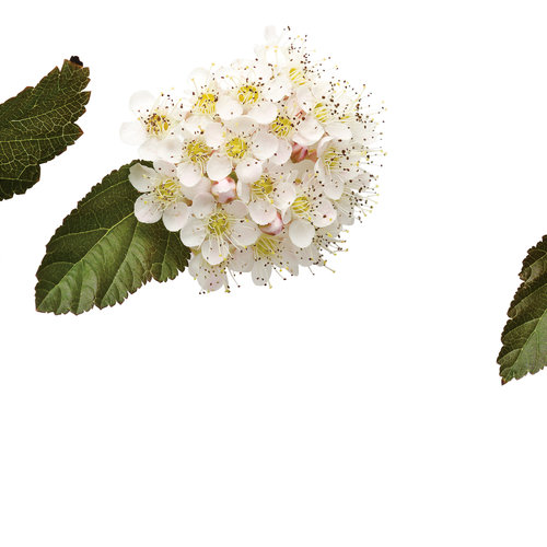 phisocarpus coppertina 01.jpg