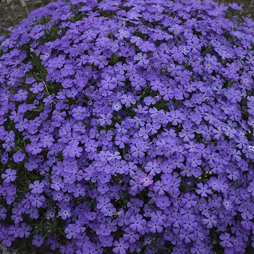 Mountainside™ 'Crater Lake' - Hybrid Spring Phlox - Phlox hybrid