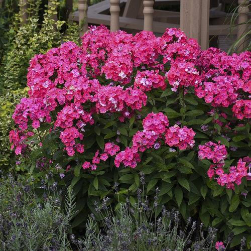 Garden Girls™ Glamour Girl - Tall Garden Phlox - Phlox paniculata