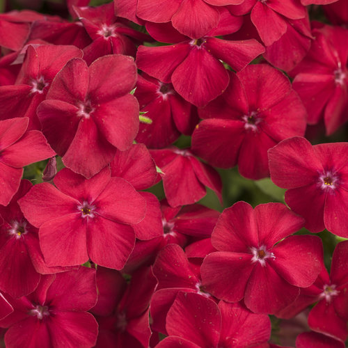 Intensia® Red Hot - Phlox drummondii