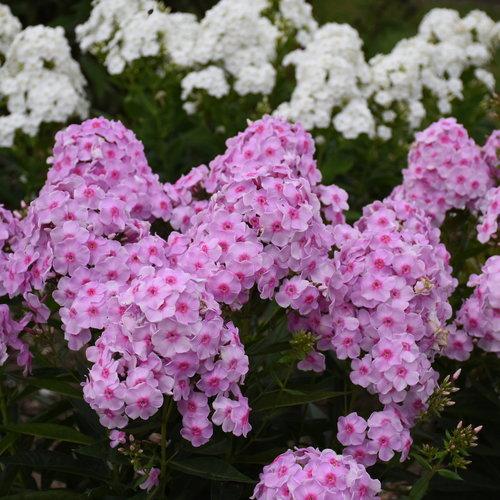 Luminary™ 'Opalescence' - Tall Garden Phlox - Phlox paniculata
