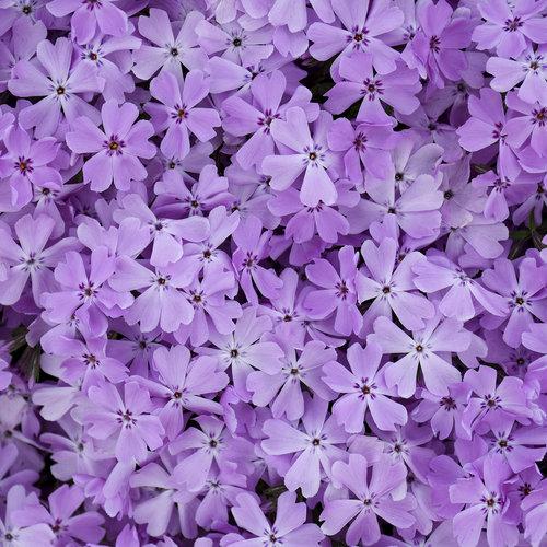 Spring Bling™ 'Pink Sparkles' - Hybrid Spring Phlox - Phlox hybrid