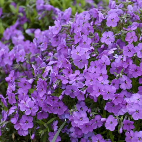 phlox_purple_sprite_3.jpg