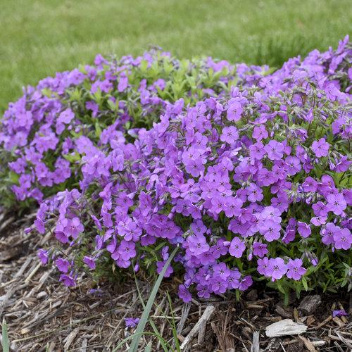 phlox_purple_sprite_4.jpg