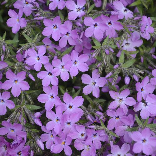 'Rose Sprite' - Hybrid Spring Phlox - Phlox hybrid