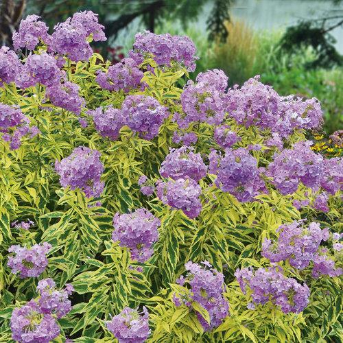 'Shockwave' - Tall Garden Phlox - Phlox paniculata