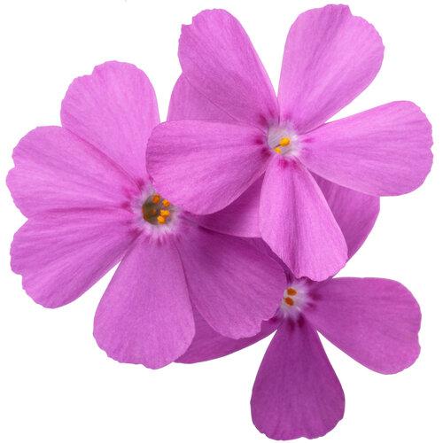 phlox_spring_bling_ruby_riot_macro_03.jpg