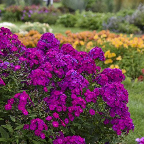Luminary™ 'Ultraviolet' - Tall Garden Phlox - Phlox paniculata