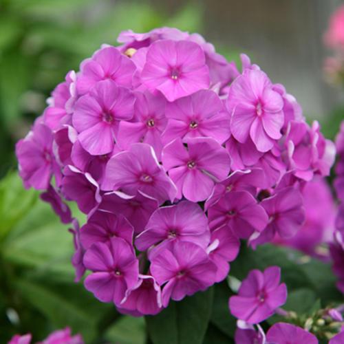 Flame Purple - Dwarf Garden Phlox - Phlox paniculata