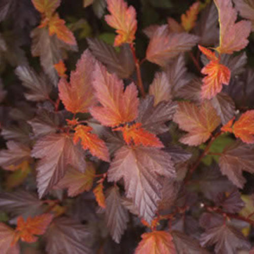 Coppertinau00ae - Ninebark - Physocarpus opulifolius : Proven Winners