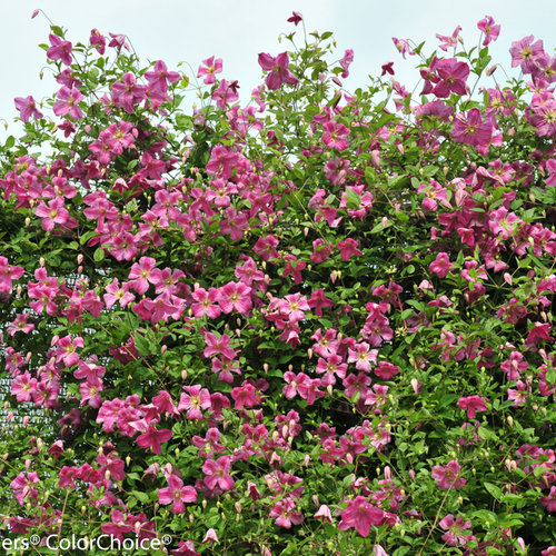 pink_mink_clematis-3397.jpg
