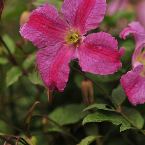 pink_mink_clematis-6.jpg