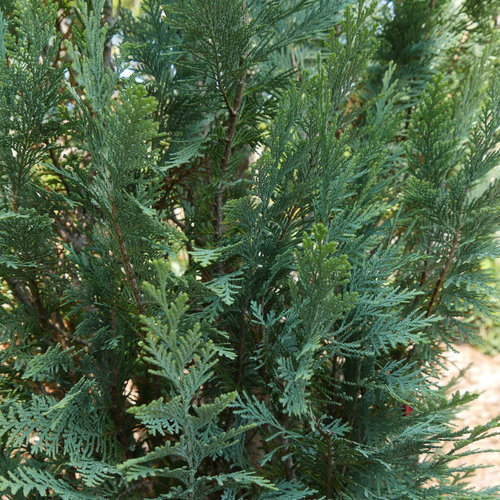 pinpoint_blue_evergreen_foliage.jpg
