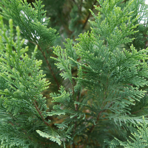 pinpoint_blue_gold_evergreen_foliage.jpg
