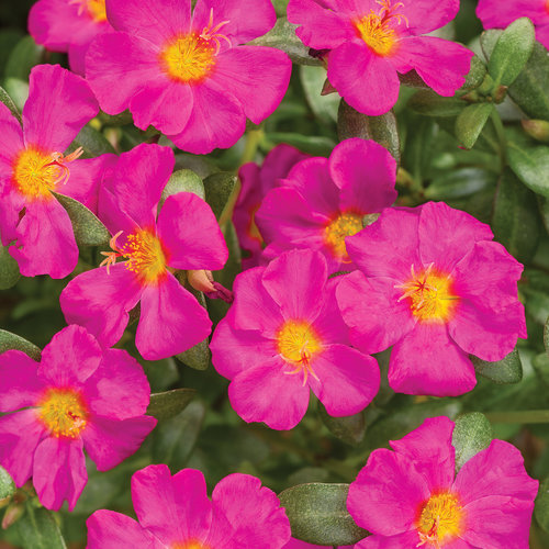 portulaca_mojave_fuchsia_improved.jpg