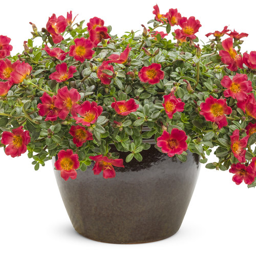 portulaca_mojave_red_improved_mono.jpg