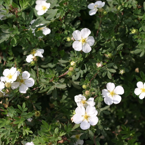 potentilla_happy_face_white_3056_0.jpg