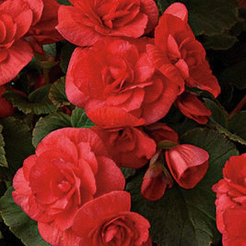 Solenia® Red - Rieger Begonia - Begonia x hiemalis