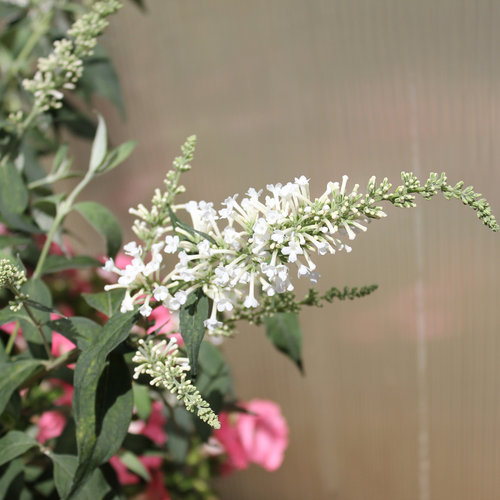 InSpired White - Butterfly bush - Buddleia x