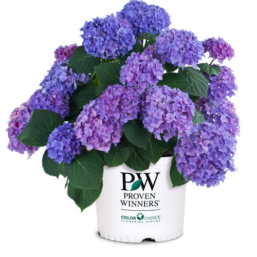 proven_winners_hydrangea_lets_dance_rhythmic_blue.jpg
