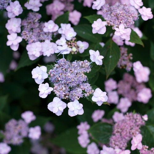 Tiny Tuff Stuff™ - Mountain Hydrangea - Hydrangea serrata