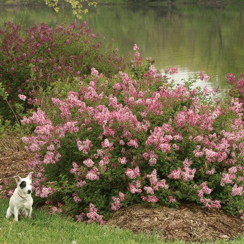 Scent and Sensibility™ Pink - Lilac - Syringa x