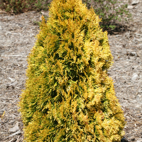 'Filips Magic Moment' - Arborvitae - Thuja occidentalis