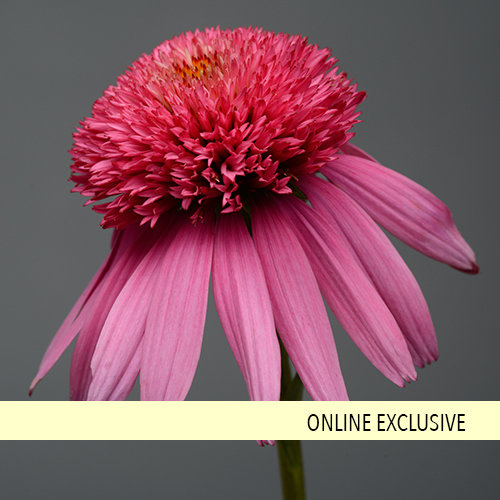 Double Scoop™ Bubble Gum - Coneflower - Echinacea hybrid