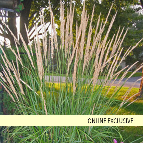 Is Giant Reed A Miracle Plant Or The Next Kudzu Oregonlivecom