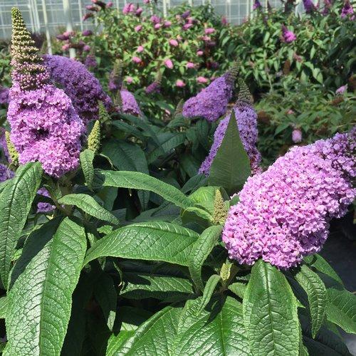pugster_amethyst_butterfly_bush_flowers.jpg