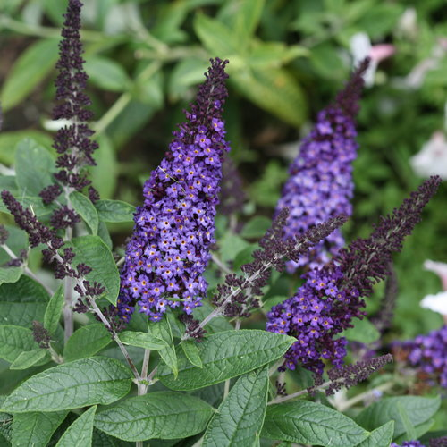 pugster_blue_buddleia_flowers.jpg