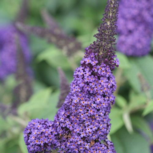 pugster_blue_butterfly_bush_flower_color.jpg