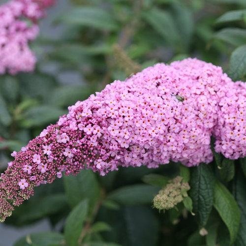Pugster Pink® - Butterfly Bush - Buddleia x