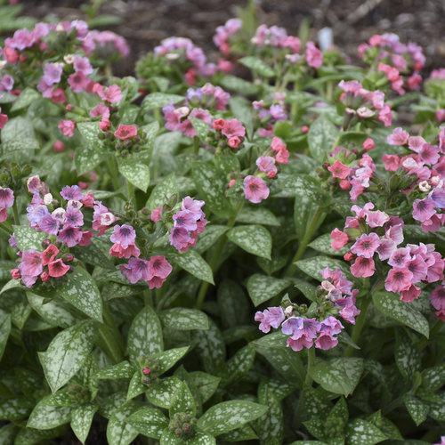 Pretty in Pink - Lungwort - Pulmonaria hybrid