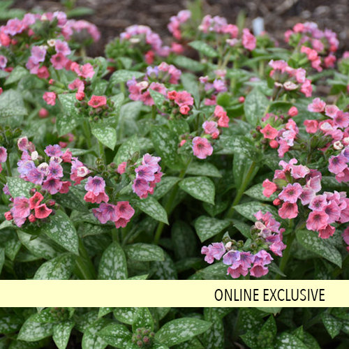 Pretty in Pink - Lungwort - Pulmonaria hybrid