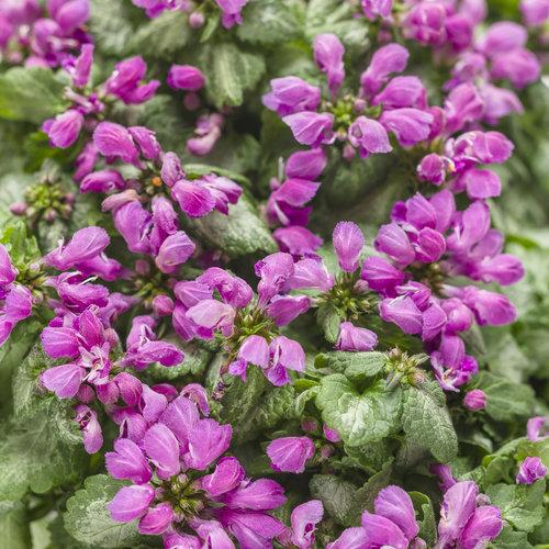 Purple Chablis™ - Dead Nettle - Lamium maculatum