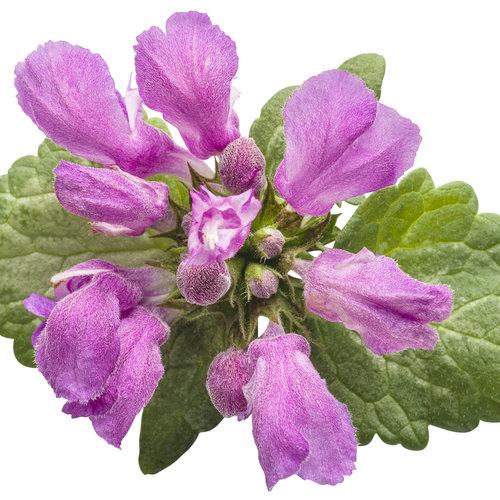 purple_chablis_lamium_02.jpg