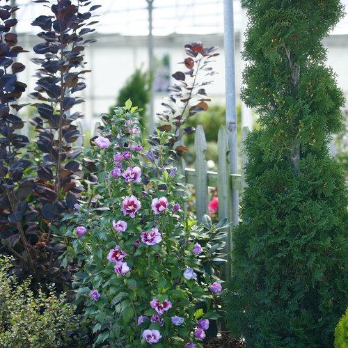 purple_pillar_hibiscus_landscape.jpg